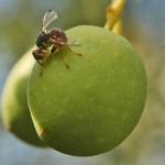 Raccolto delle olive in Umbria, tra mosche e stagioni pazze -80%