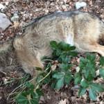Bocconi avvelenati uccidono un lupo appenninico sul Subasio