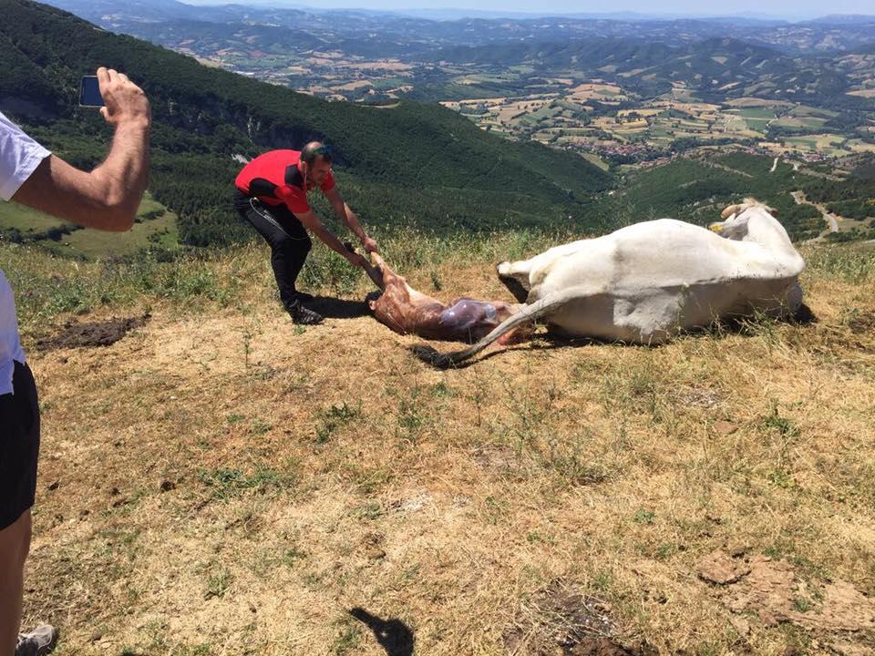 mucca-parto